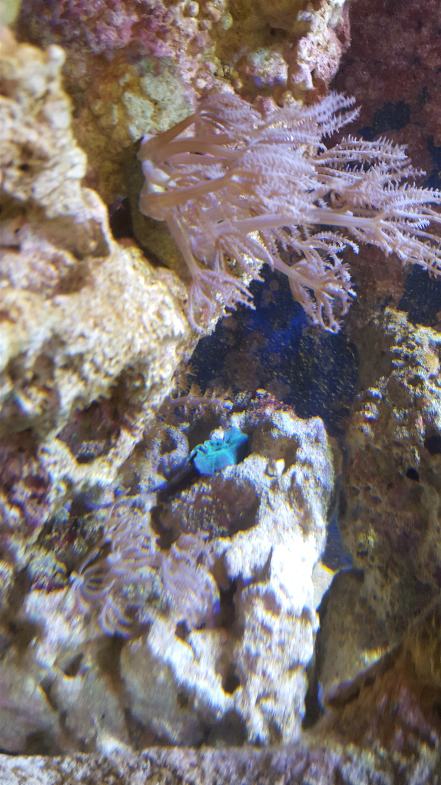 Xenia and a Blue Mushroom Coral